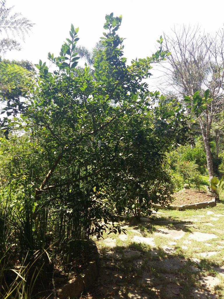 Pé de pimenta da Jamaica do Espaço Fiori di Luce